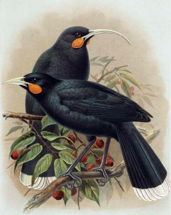 huia-birds